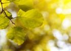 sunburst-through-leaves